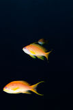 Lyretail anthias (Pseudanthias squamipinnis) Stock Photos