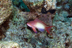 Lyretail anthias (pseudanthias squamipinnis). Stock Photos