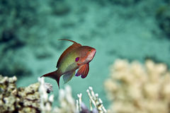 Lyretail anthias (pseudanthias squamipinnis). Taken in Middle Garden Stock Photo