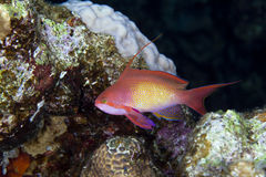Lyretail anthias in the Red sea. Royalty Free Stock Photo