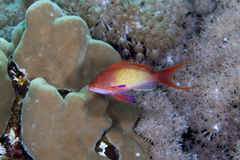 Lyretail anthias in the Red Sea. Royalty Free Stock Photography