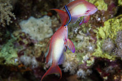 Lyretail anthias in the Red Sea. Royalty Free Stock Photos