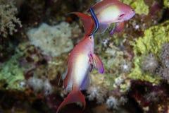 Lyretail anthias in the Red Sea. Royalty Free Stock Photos
