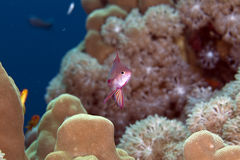 Lyretail anthias in the Red Sea. Stock Photos
