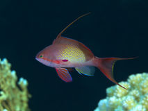 Lyretail anthias. In red sea royalty free stock photo