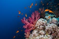 Lyretail anthias som simmar runt om en stor purpurfärgad mjuk korall royaltyfria bilder