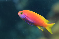 Lyretail coralfish Royalty Free Stock Images