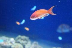 Lyretail coralfish Stock Photo
