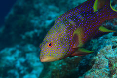 Lyretail grouper. (Variola louti) in the coral reef Stock Photography