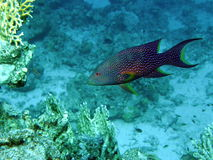 Lyretail Grouper. Cruises over clear blue reef stock photography