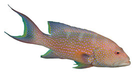 Lyretail Grouper Royalty Free Stock Image