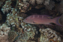 Lyretail grouper and ocean Stock Photo