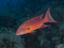 Lyretail grouper. In red sea stock photo