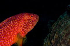 Lyretail grouper swimming across the shot Stock Images
