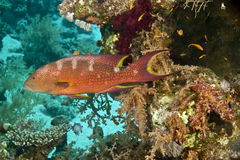 Lyretail grouper (variola louti) Stock Images