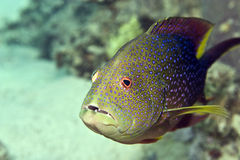 Lyretail grouper (variola louti). Taken in Middle Garden Stock Photo