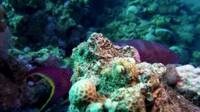 Lyretail Grouper Variola louti slowly swims on the background of a coral reef, then leaves the frame. Red Sea Egypt stock video