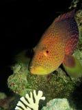 Lyretail grouper Stock Photo