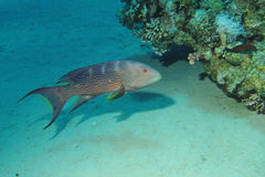 Lyretail grouper Stock Photos