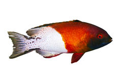 Lyretail hogfish Royalty Free Stock Photography