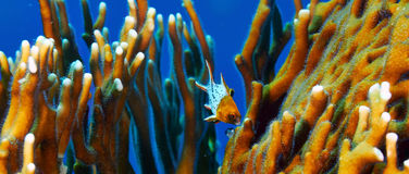 Lyretail hogfish juvenile. Lyretail hogfish (Bodianus anthioides), juvenile and fire coral, in the Red Sea, Egypt Royalty Free Stock Images