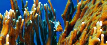 Lyretail-Hogfishjugendlicher Lizenzfreie Stockbilder