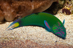 Lyretail Wrasse Stock Photography