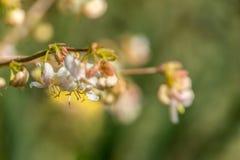 Free Lyric Macro Of Blooming Flower Winter Honeysuckle Lonicera Fragrantissima Standishii, Or January Jasmine, Chinese Honeysuckle. Stock Image - 142630781