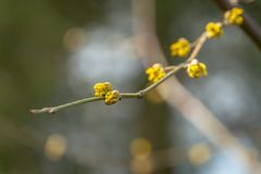 Lyric twig with yellow flowers on grey blurred with bokeh background. Soft selective macro focus cornelian cherry blossom Cornus royalty free stock image