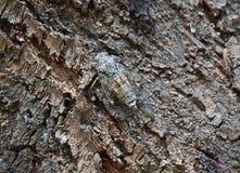 Lyristes Plebejus - общая цикада Стоковые Изображения