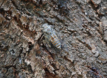Lyristes Plebejus - Common Cicada Stock Images