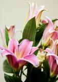 lys лилии Стоковое Изображение RF