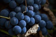 lysande vine för druvor arkivbilder