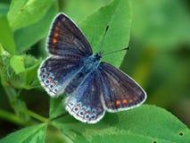 lysandra bellargus Στοκ εικόνες με δικαίωμα ελεύθερης χρήσης