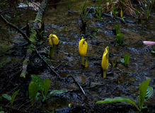 Lysichiton americanus 03 Stock Photo