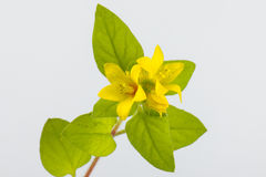 Lysimachia christinae Hance Royalty Free Stock Photography