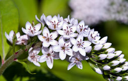 Gooseneck Loosestrife flower. Closeup of an arching stem of blossoms of Gooseneck Loosestrife in spring Royalty Free Stock Image