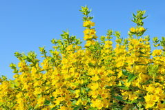 Lysimachia flowers Stock Photo