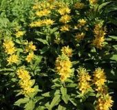 Lysimachia lichiangensis, gelbe Blumen mit grünen Blättern im Garten Es ist ein beständiges Kraut, 35 75 cm in der Höhe Stockfotografie