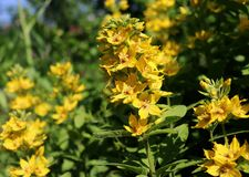 Lysimachia lichiangensis, yellow flowers with green leaves in the garden.It is a perennial herb, 35 75 cm in height. Native to western Sichuan and north Yunnan Stock Photography
