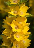Lysimachia punctata Royalty Free Stock Image