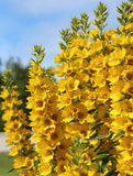 Lysimachia punctata Royalty Free Stock Images