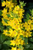 Lysimachia punctata flowers; Stock Images