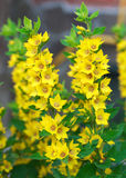 Lysimachia punctata (Garden Loosestrife, Yellow Loosestrife or G Stock Photography