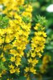 Lysimachia punctata (Garden Loosestrife, Yellow Loosestrife or G Stock Image