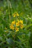 Lysimachia vulgaris Royalty Free Stock Image