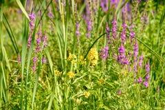 Lysimachia Vulgaris and Lythrum Salicaria Royalty Free Stock Photos