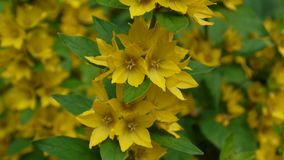 Lysimachia vulgaris, yellow flowers in the garden. Loosestrife, moneywort stock footage