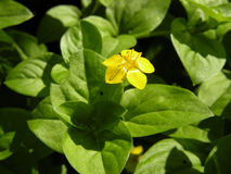 Lysimachia. Yellow flower of lysimachia plant Stock Photo