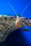 Lysmata amboinensis (Cleaner Shrimp) Stock Photo